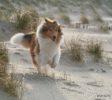 hund-collie läuft durch die Dünen am Meer